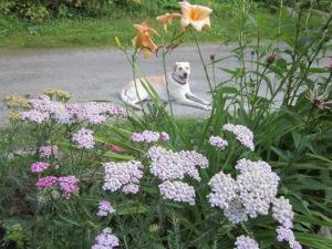 Bella dog and yarrow